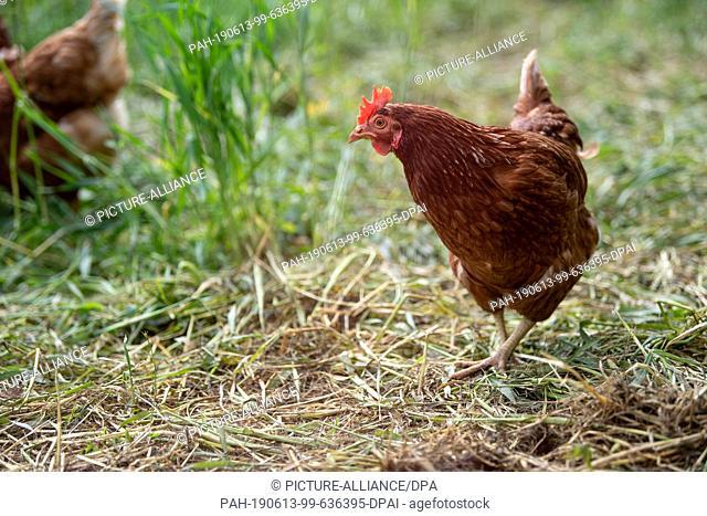 13 June 2019, Baden-Wuerttemberg, Freiberg am Neckar: Chickens run through the grass in the open air. Photo: Fabian Sommer/dpa