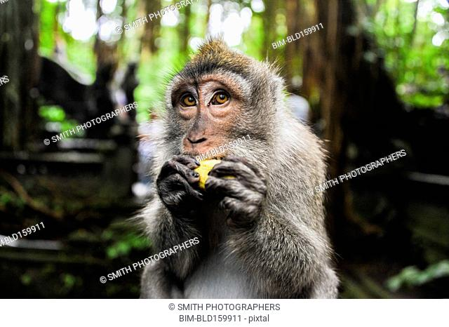 Close up of monkey eating fruit in jungle