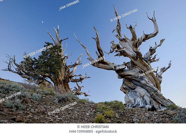USA, Inyo County, Eastern Sierra, California, The Ancient Bristlecone Pine Forest is a protected area high in the White Mountains in Inyo County in eastern...