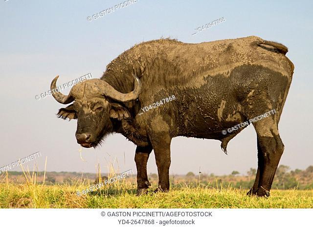 Cape buffalo (Syncerus caffer), Chobe National Park, Botswana