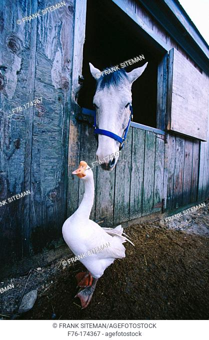 Horse and goose