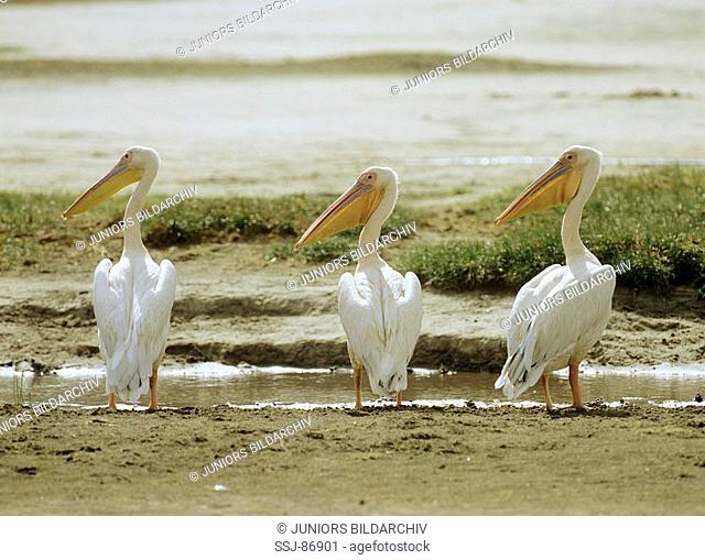 three Eastern White Pelicans - standing at the water / Pelecanus onocrotalus
