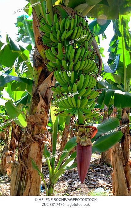 Bunch of bananas close up view in a banana plantation, Guadeloupe, Caribbean islands, France