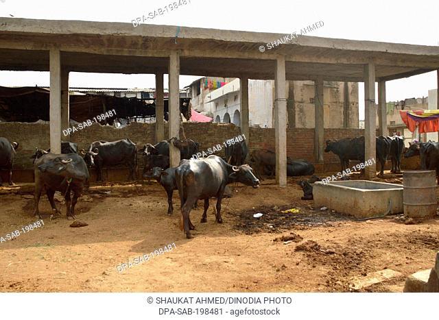 Buffalo stable, ajmer, rajasthan, india, asia