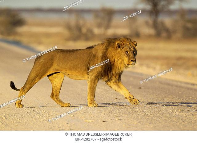 Lion (Panthera leo), male crossing a gravel road in the early morning, Etosha National Park, Namibia