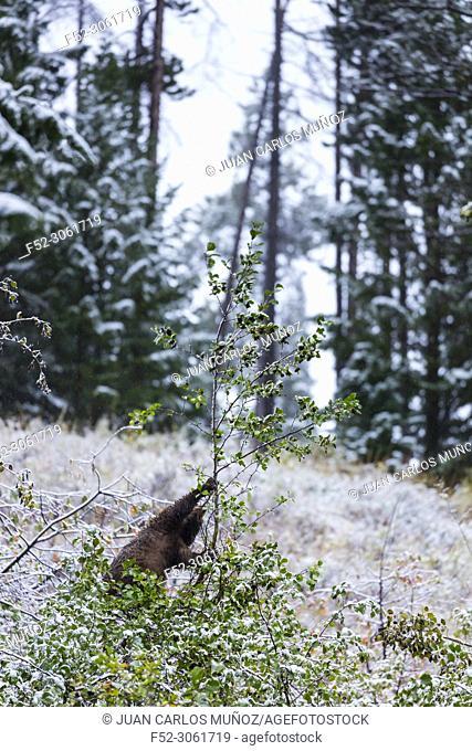American black bear (Ursus americanus), Grand Teton National Park, Wyoming, Usa, America