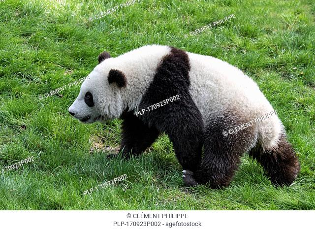 Giant panda (Ailuropoda melanoleuca) one-year old cub walking in zoo