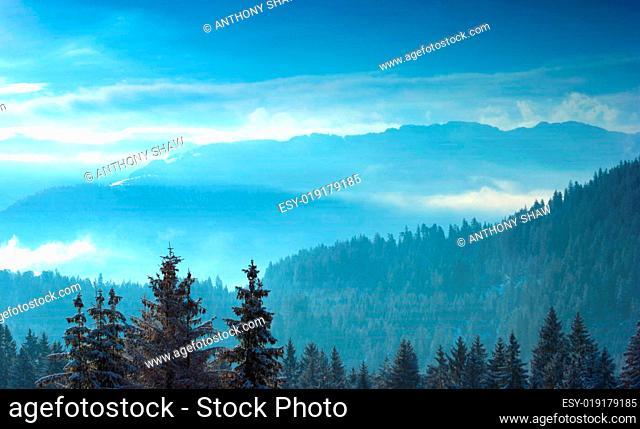 Alpine trees with snow at sunrise