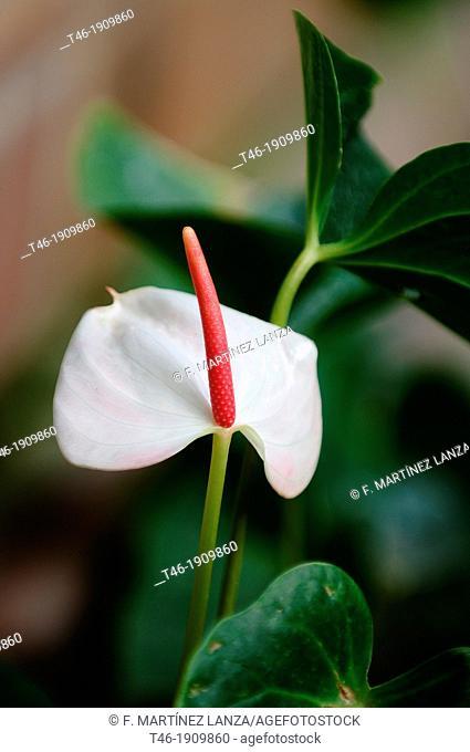 SPECIES: Anthurium andreanum Family: Araceae ORIGIN: COLOMBIA SOUTHWESTERN COMMON NAME: anthurium, pink Calla