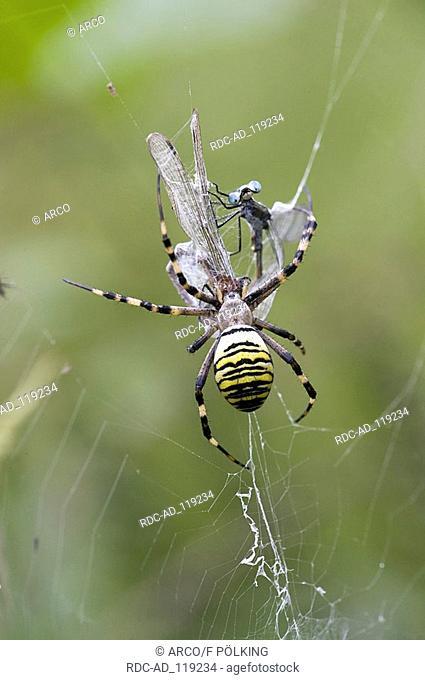Black-and-Yellow Argiope female with prey in web Lower Saxony Germany Argiope bruennichi Wesp Spider Zebra Spider