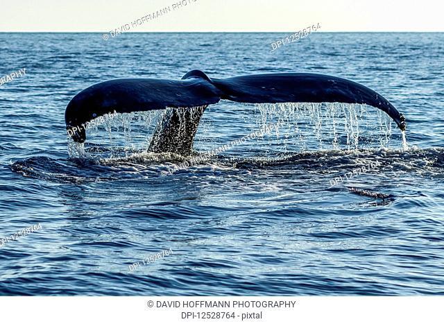 Humpback whale (Megaptera novaeangliae) tail fluke; Lahaina, Maui, Hawaii, United States of America