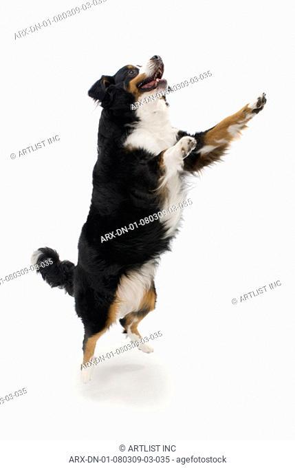 A jumping dog