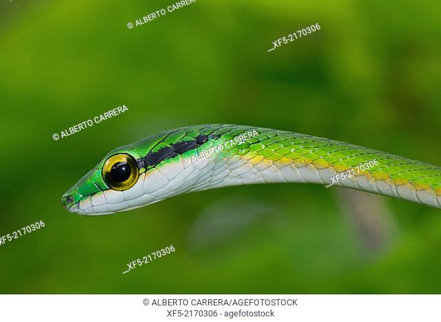 Parrot snake, Satiny Parrot Snake, Leptophis depressirostris, Tropical Rainforest, Corcovado National Park, Osa Conservation Area, Osa Peninsula, Costa Rica