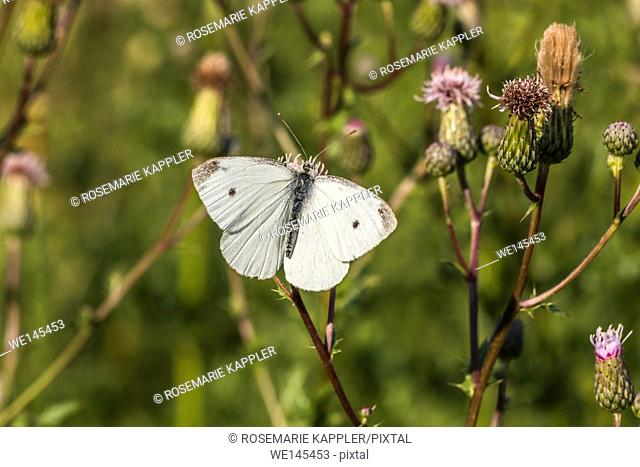 Germany, Saarland, Homburg - A cabbage butterfly suckles on a blossom
