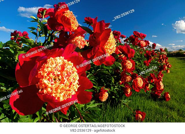 Roselette peony, Adelman Peony Garden, Brooks, Oregon