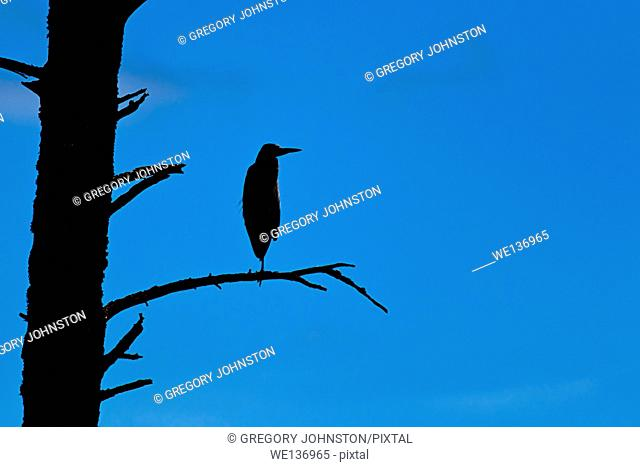 A silhouette of a great blue heron perched in a barren tree in north Idaho