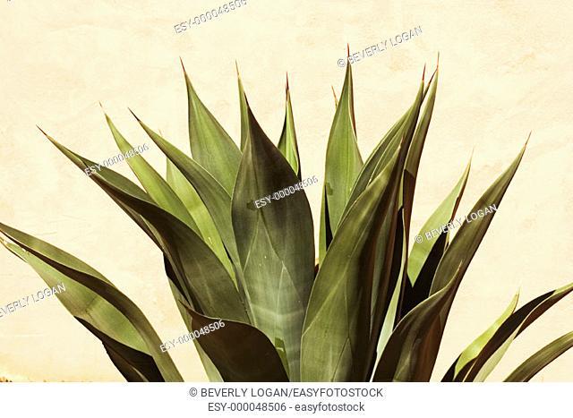 Cactus plant in Tucson, Arizona, USA