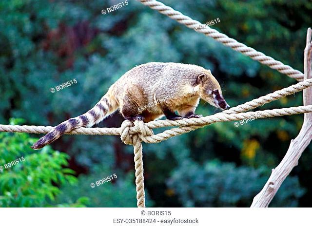 South American Coati, nasua nasua, ring-tailed coati from tropical and subtropical South America