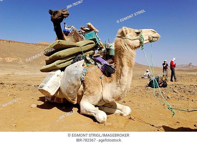 Camel, Mehari, Hoggar, Ahaggar, Wilaya Tamanrasset, Algeria, Sahara Desert, North Africa