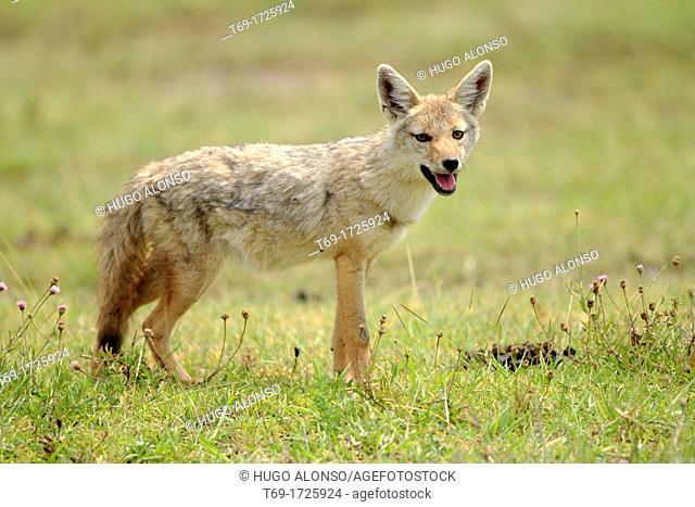 Common or golden jackal Canis aureus