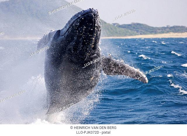 Humpbacked whale breaching. St Lucia, KwaZulu-Natal Province, South Africa