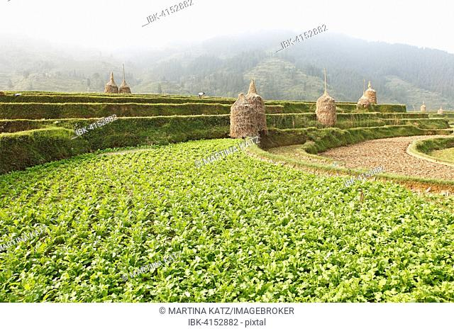 Terraced field in the morning, Rongjiang, Guizhou Province, China