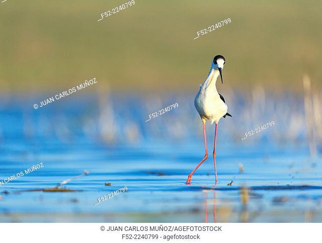 Black-winged stilt, common stilt, or pied stilt (Himantopus himantopus). Bulgaria