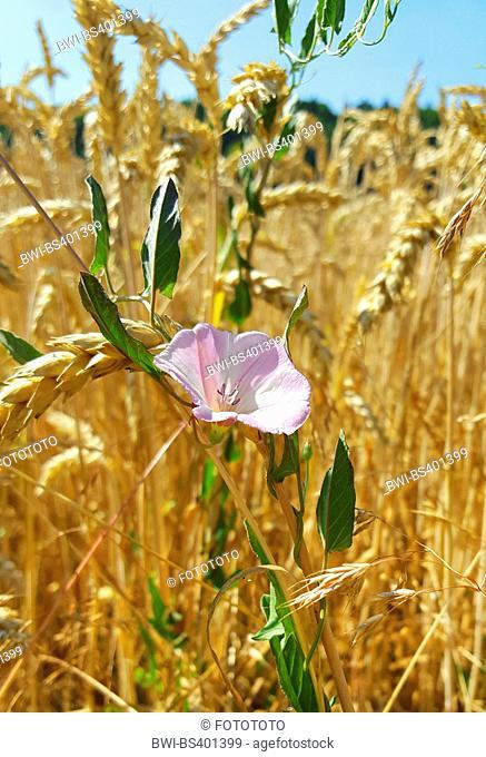 field bindweed, field morning-glory, small bindweed (Convolvulus arvensis), blooming in a wheat field, Germany, Baden-Wuerttemberg