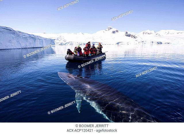 Zodiac passengers watch as a curious Minke Whale (Balaenoptera bonaerensis) prepares to surface while swimming in Curtis Bay. Antarctic Peninsula