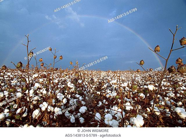 Agriculture - Rainbow over a mature cotton field / Arkansas, USA