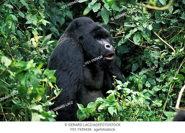 Mountain Gorilla, gorilla gorilla beringei, Silver Back Male, Virunga Park in Rwanda