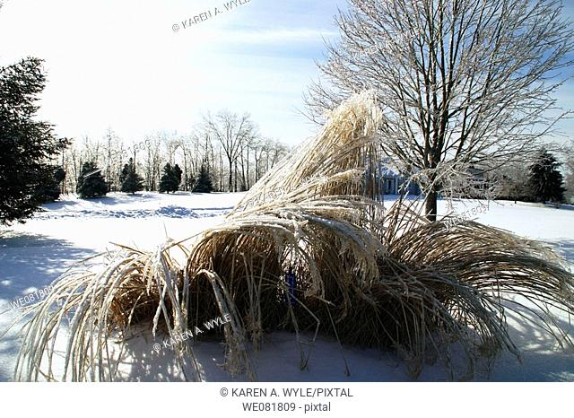 Tall grasses, field, trees, after ice storm, Bloomington, Indiana, USA