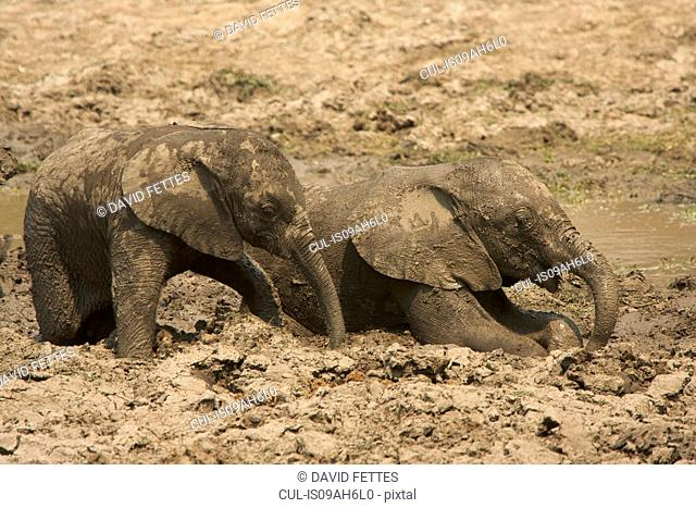 Baby elephants - Loxodonta africana - having a mud bath, Mana Pools National Park, Zimbabwe