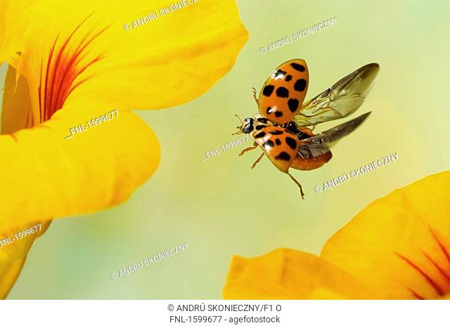 Asian ladybird Harmonia axyridis hovering over flower
