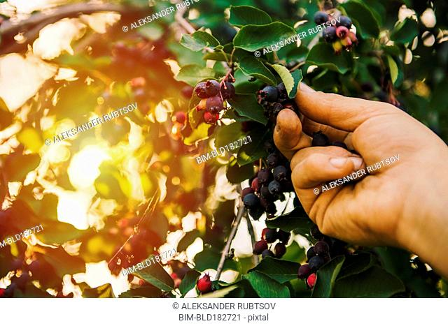 Low angle view of hand picking blueberry
