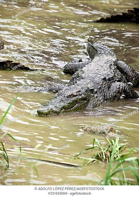 Crocodile, Senegal