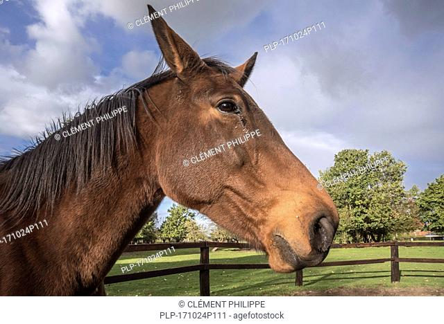Close up portrait of Belgian Warmblood horse outdoors in field within wooden enclosure