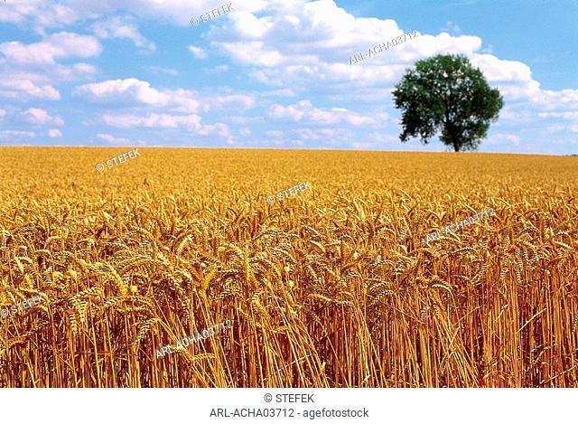 Belgium,wheat