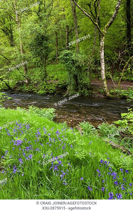 Bluebells on the bank of the River Haddeo in spring at Hartford Bottom, Exmoor National Park near Hartford, Somerset, England