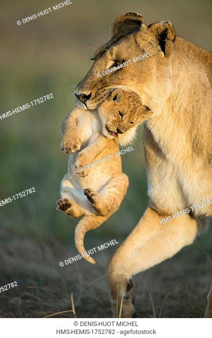 Kenya, Masai-Mara game reserve, lion (Panthera leo), lioness carrying her cub
