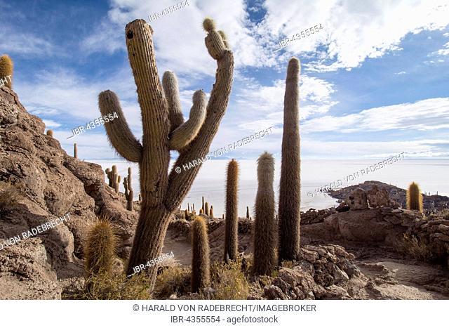 Cactus (Echinopsis atacamensis), Isla Incahuasi or Isla del Pescado, Salar de Uyuni, Altiplano, Bolivia