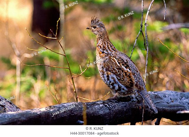 Ruffed Grouse, Bonasa umbellus, Phasianidae, Grouse, bird, animal, Jasper National Park, Alberta, Canada