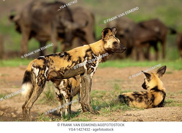 African Wild Dogs Lycaon pictus   Endangered species  At a waterhole with a herd of buffalo in the background   Hluhluwe Imfolozi Game Reserve  Kwazulu-Natal