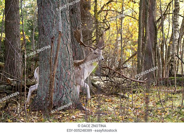 Beautiful deer in the forest