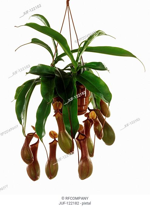 Pitcher plant / Nepenthes