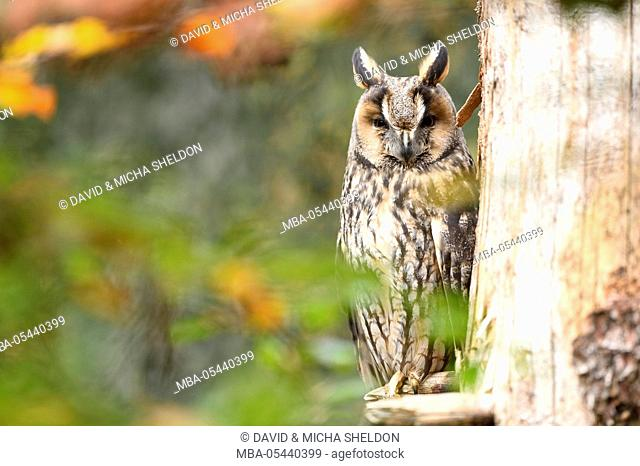 Long-eared owl, Asio otus, branch, head-on, sitting, looking at camera