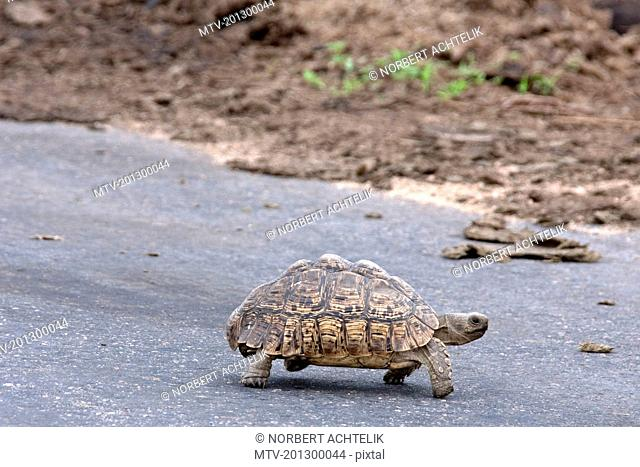 Tortoise (Testudinidae) walks slowly across the street, South Africa