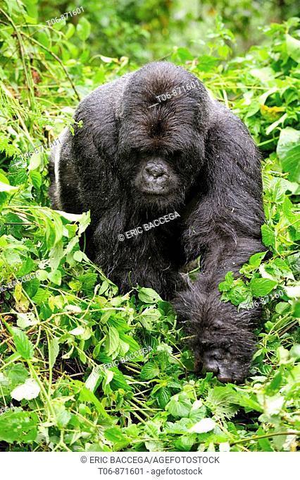 Male mountain gorilla walking in the rainforest (Gorilla beringei beringei) Volcanoes National Park, Rwanda, Africa