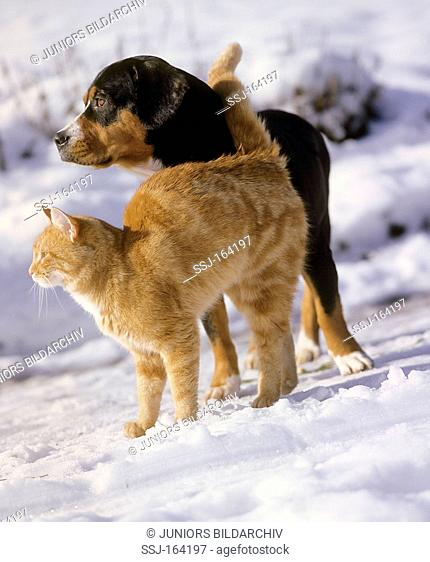 animal friendship : domestic cat and half breed dog in snow