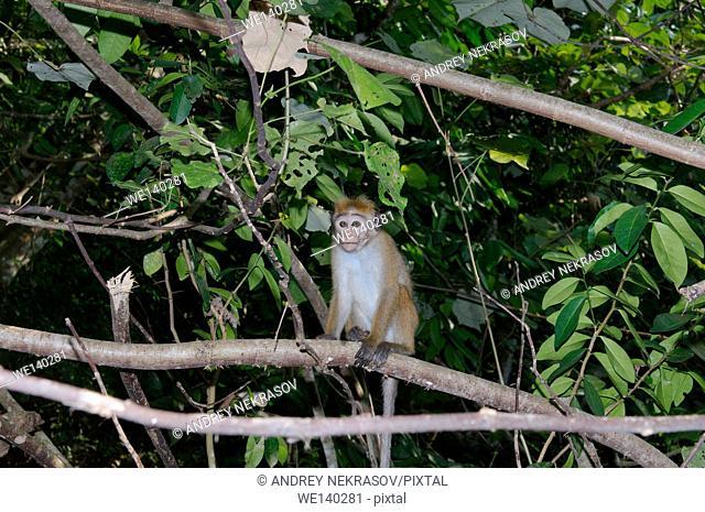Young toque macaque (Macaca sinica) - endemic to Sri Lanka, Hikkaduwa, Sri Lanka, South Asia